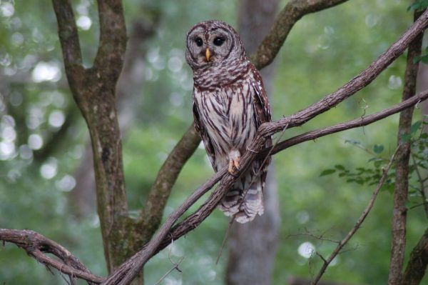 stock-photos-nature-florida-panhandle-chipola-river-barred-owl