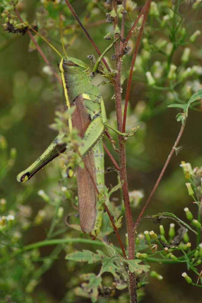grasshopper linda bateman