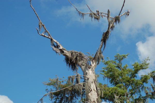 osprey-waterway-white-city-florida