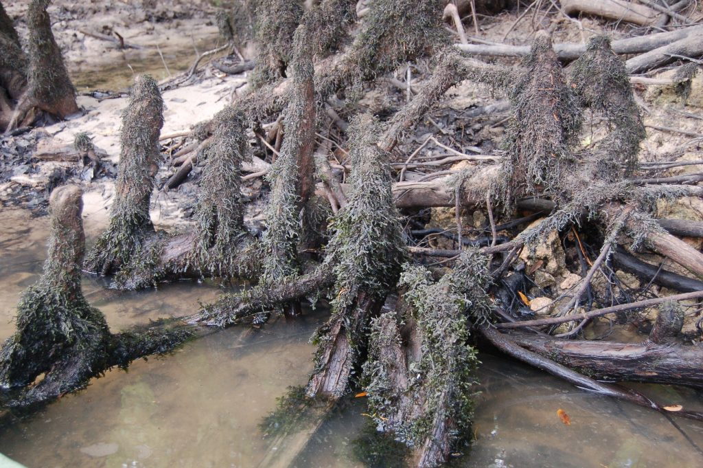 mossy cypress knees