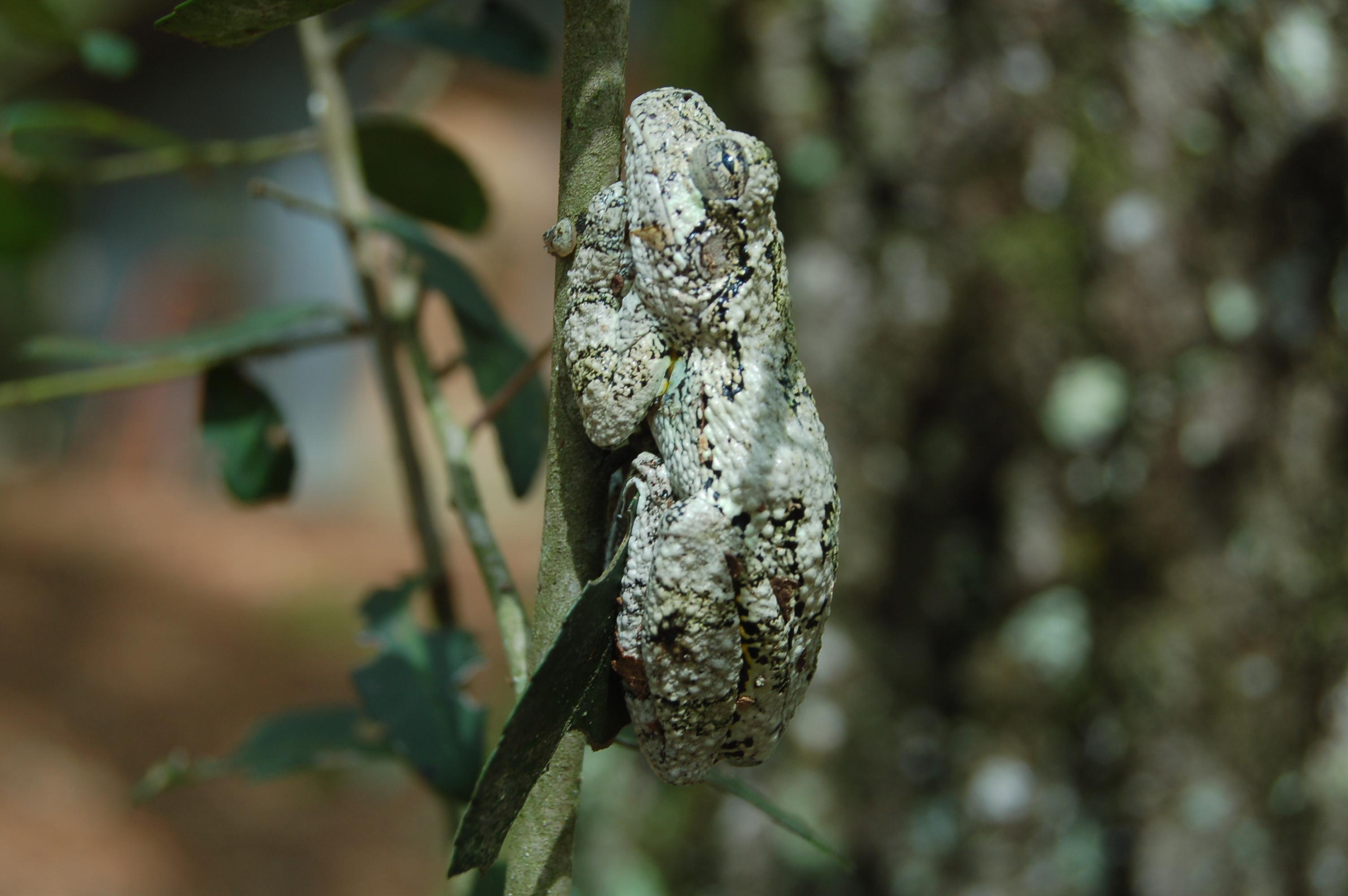 stock-photos-nature-linda-bateman-tree-frog