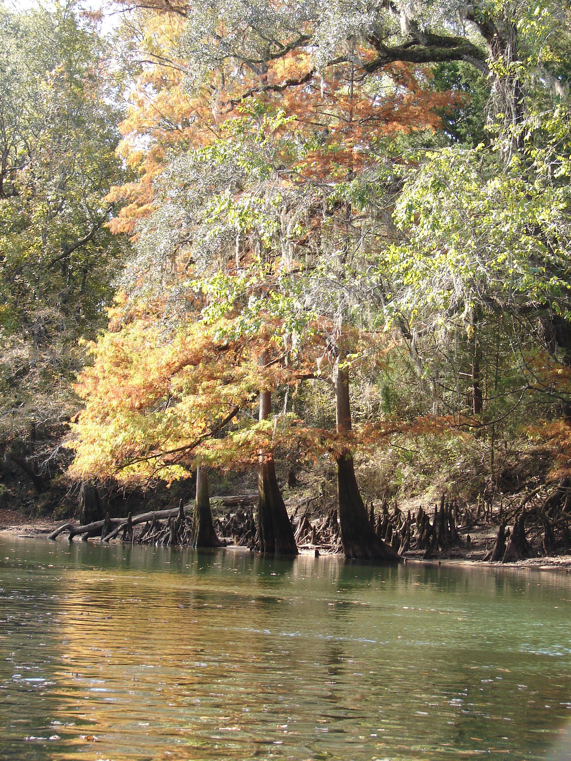 cypress-trees-fall-stock-photos-florida-panhandle-chipola-river-linda-bateman
