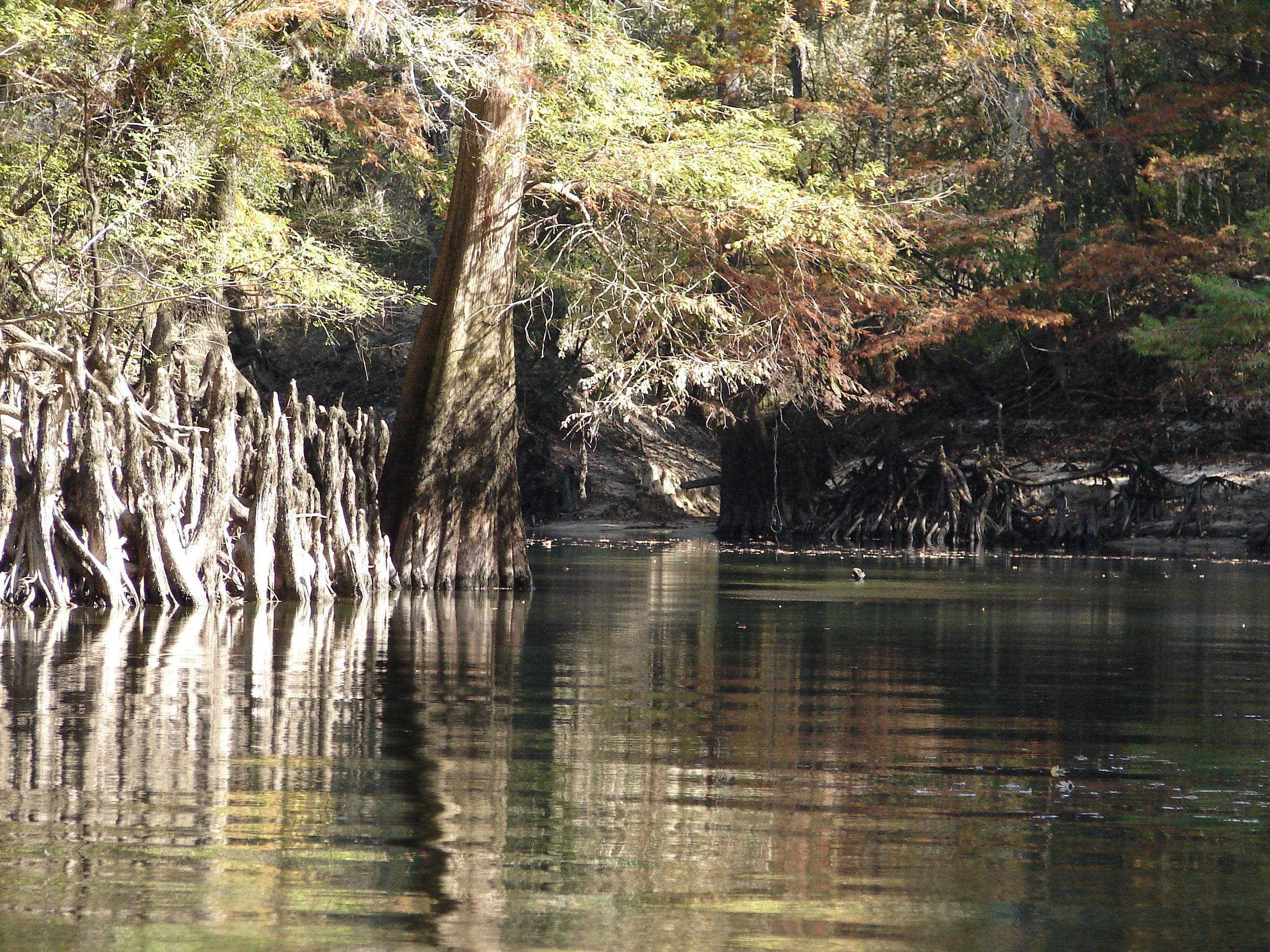 cypress-tree-with-knees-on-bend-stock-photos-florida-panhandle-chipola-river-linda-bateman