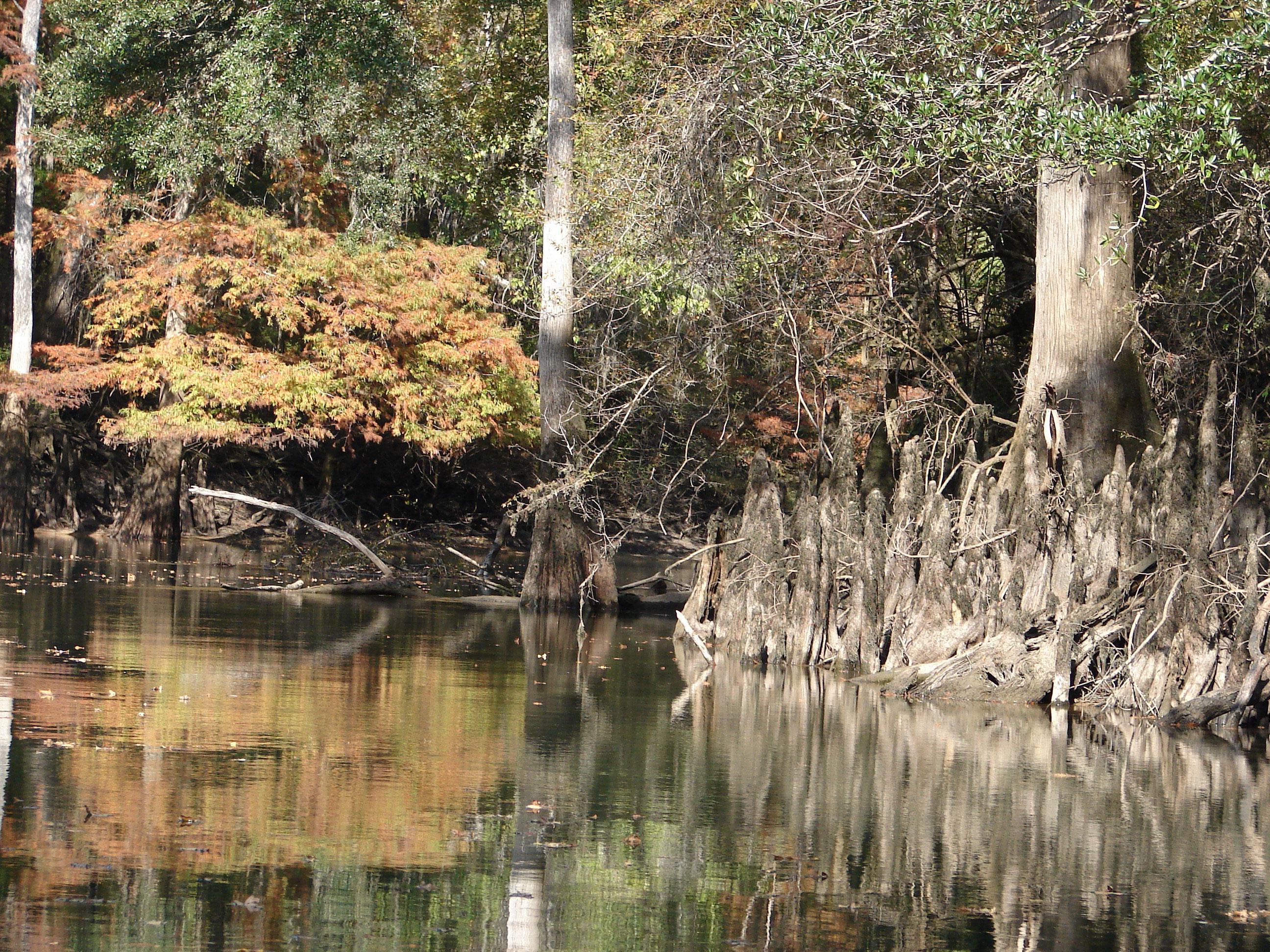 cypress-knees-stock-photos-florida-panhandle-chipola-river-linda-bateman