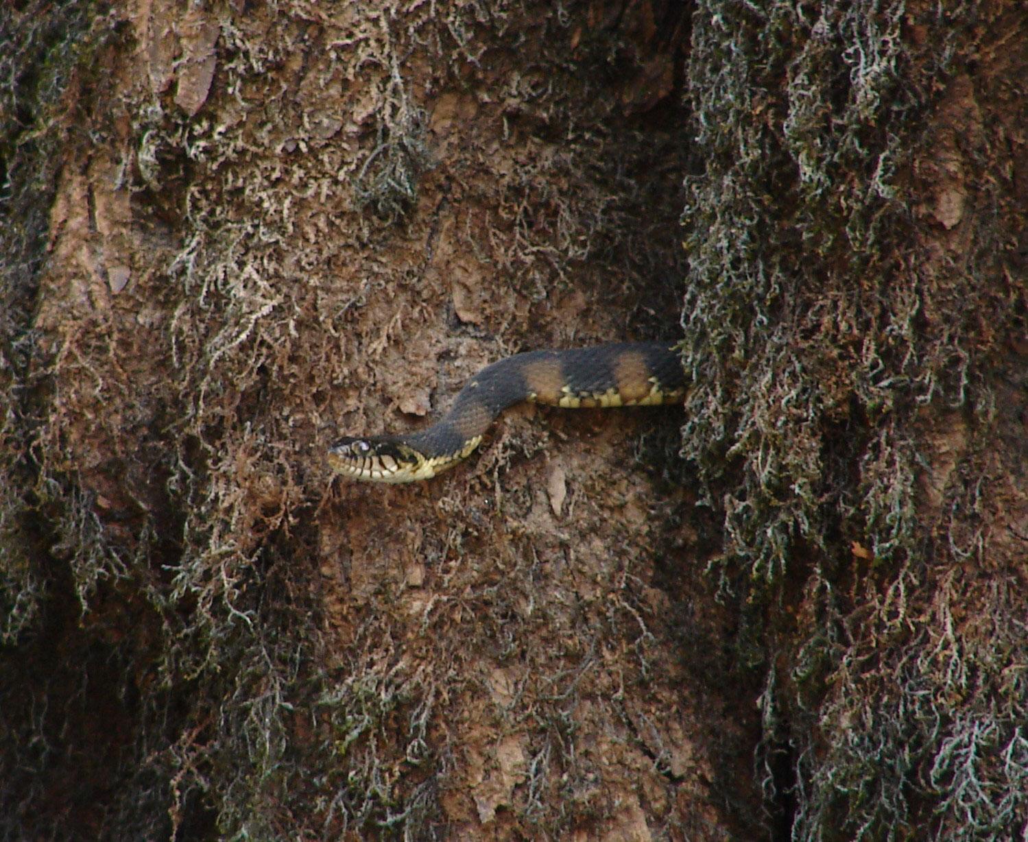 Watersnake Lurking Between The Mossy Cypress Knees