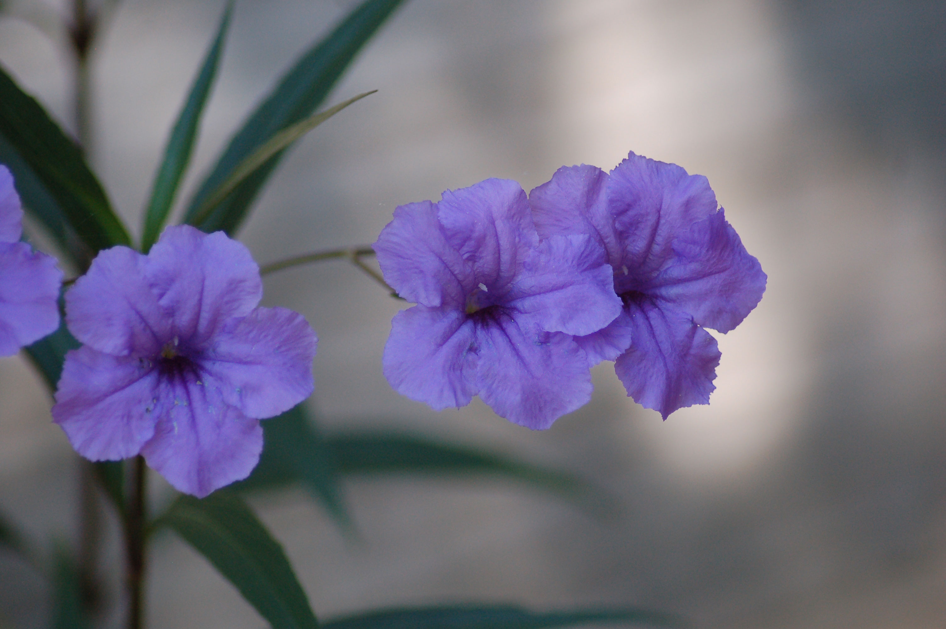 mexican-petunias-stock-photos-nature-flowers-linda-bateman