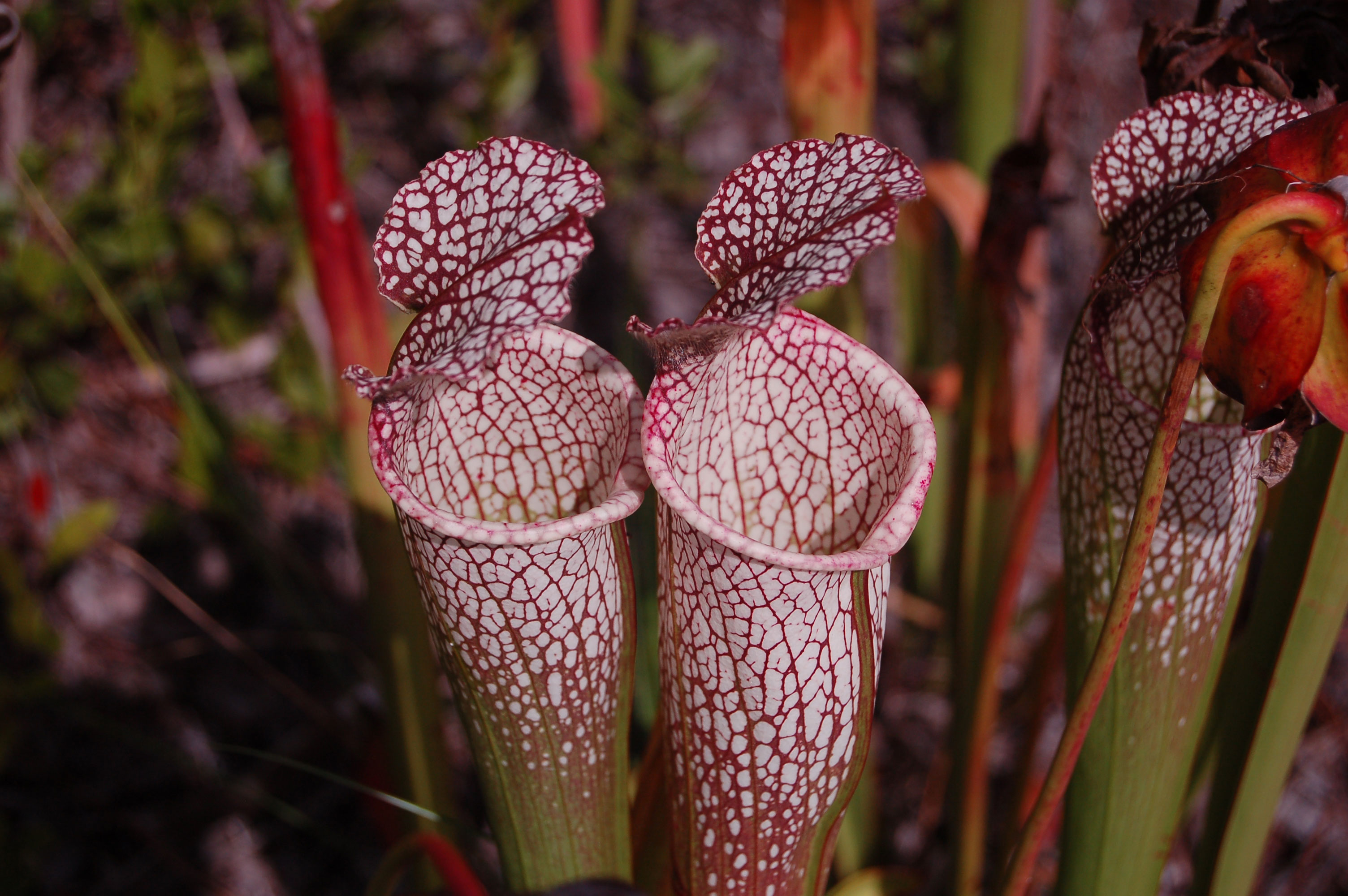 pitcher-plants-stock-photos-nature-flowers-linda-bateman