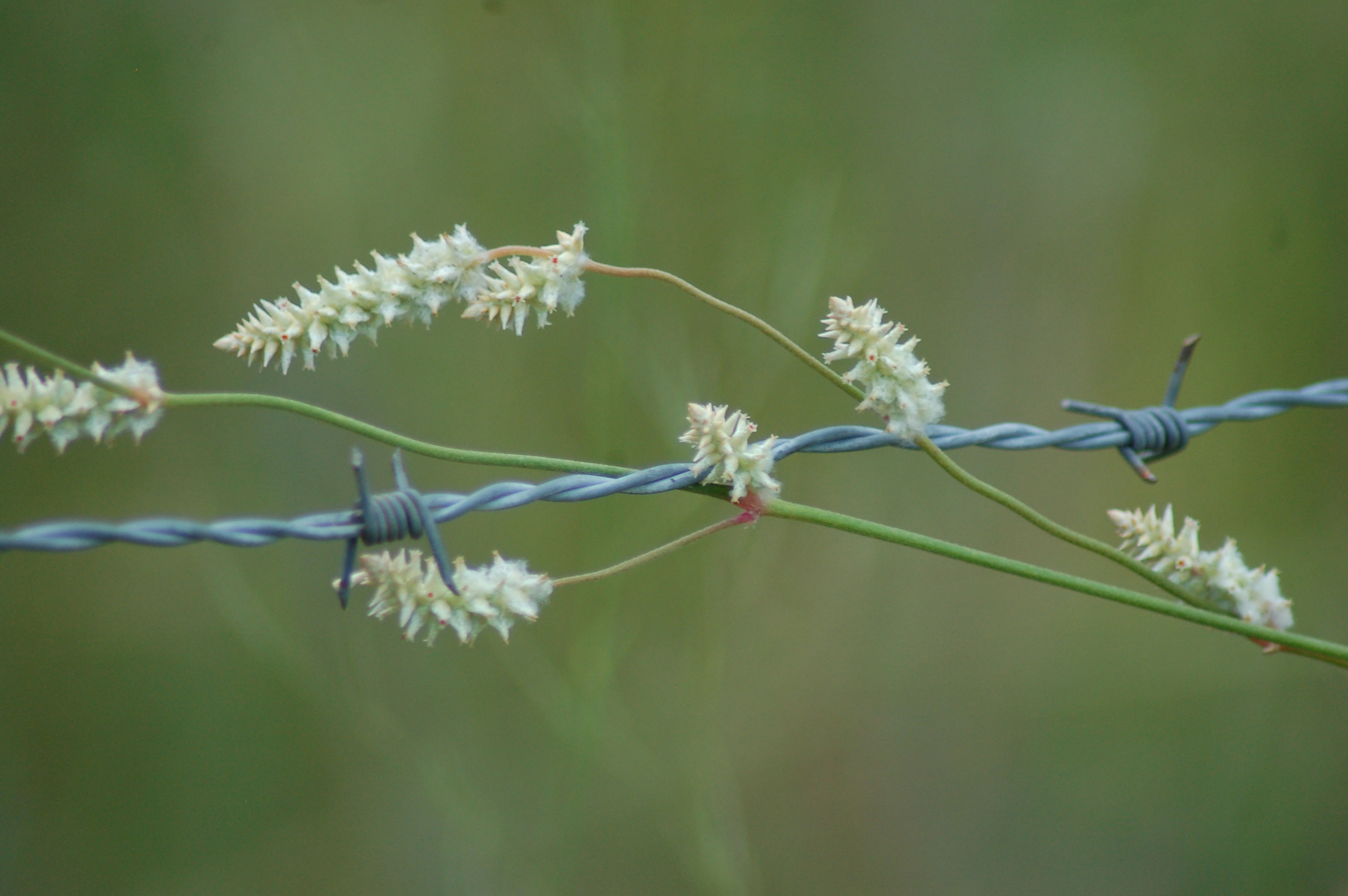 white-wildflowers-barbed-wire-fence-stock-photos-nature-flowers-linda-bateman