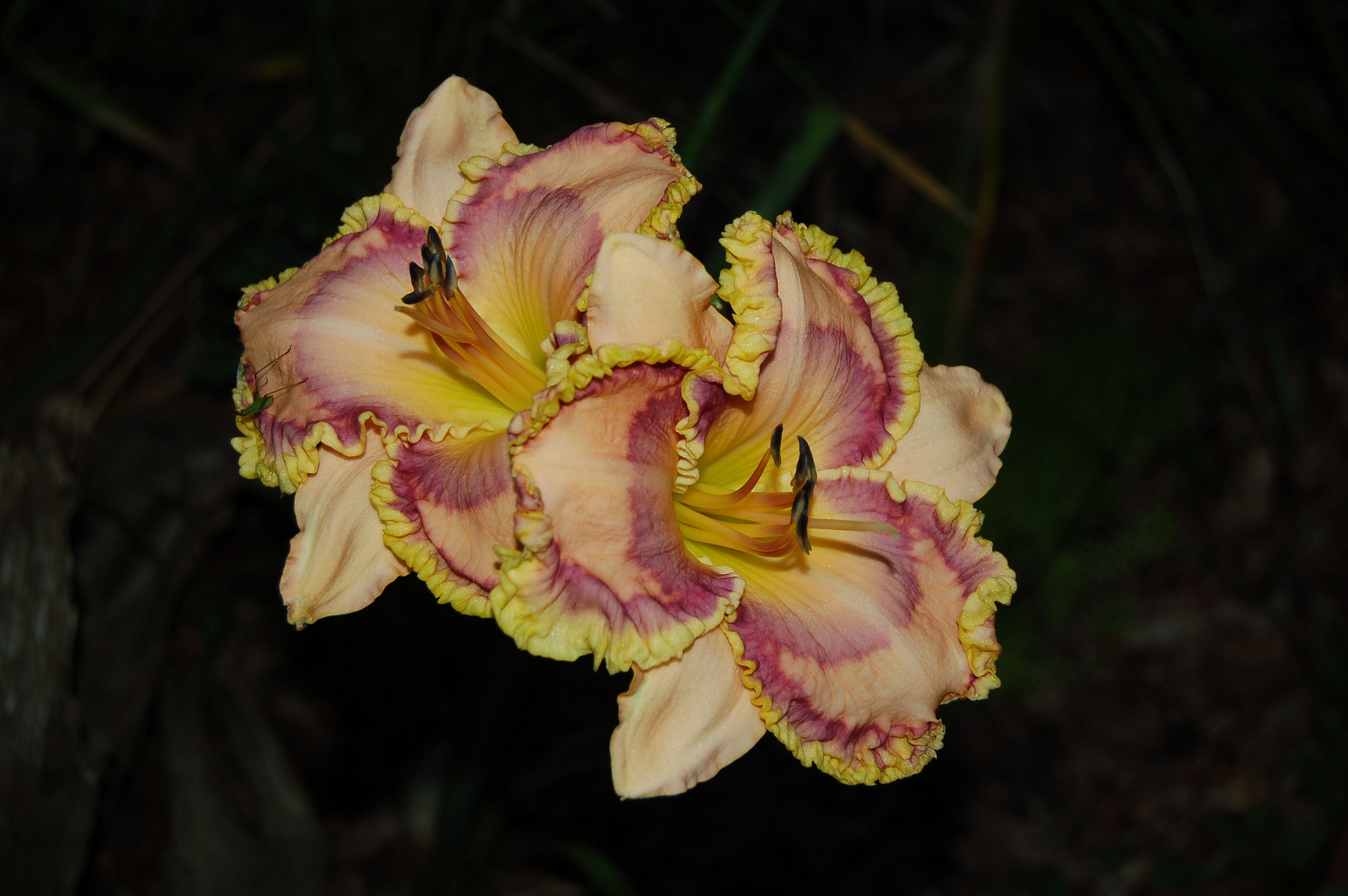 yellow-purple-ruffled-day-lilies-stock-photos-nature-flowers-linda-bateman