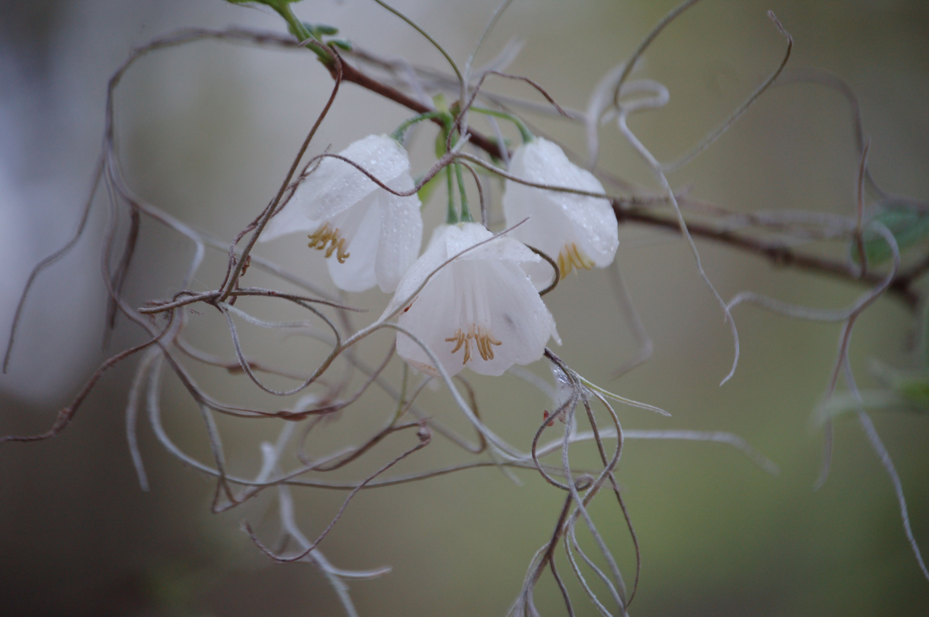 white-carolina-silverbells-stock-photos-nature-flowers-linda-bateman