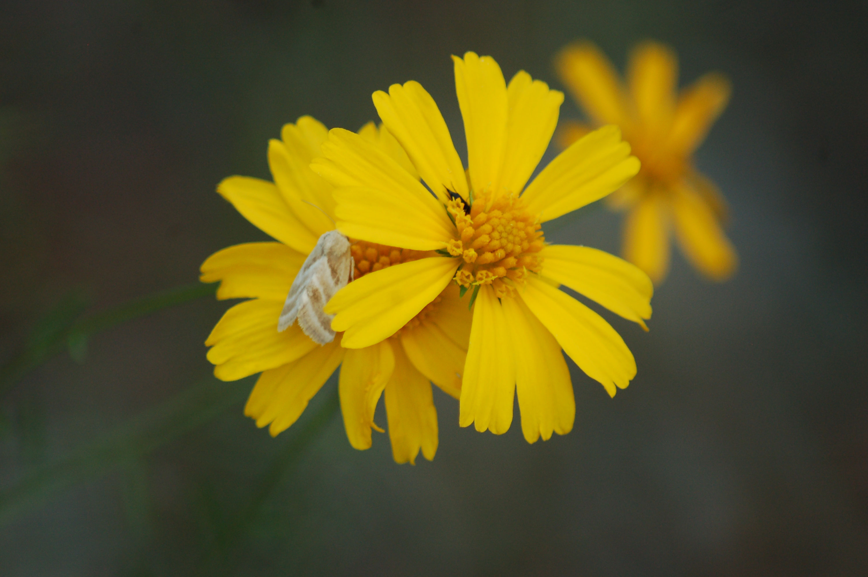 moth-on-yellow-wildflower-stock-photos-nature-flowers-linda-bateman