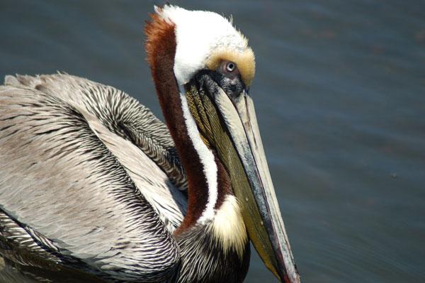 Brown Pelican in mating colors in Florida - Linda Bateman - Panhandle stock photos
